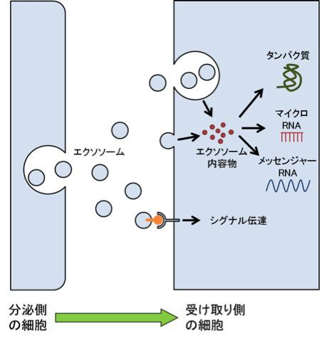 エクソソームの説明図