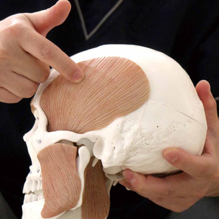 人体模型の頭蓋骨